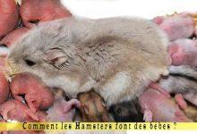 Comment-les-Hamsters-font-des-bébés-00