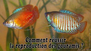 Comment-réussir-la-reproduction-des-gouramis-00
