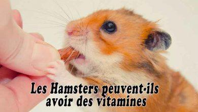 Les-Hamsters-peuvent-ils-avoir-des-vitamines-00