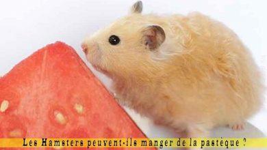 Les-Hamsters-peuvent-ils-manger-de-la-pastèque-00