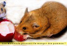 Les-Hamsters-peuvent-ils-manger-des-pommes.00