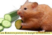 Les-Hamsters-peuvent-ils-manger-du-concombre-00