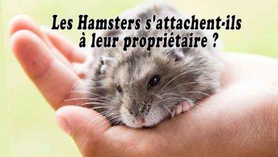 Les-Hamsters-s'attachent-ils-à-leur-propriétaire-00