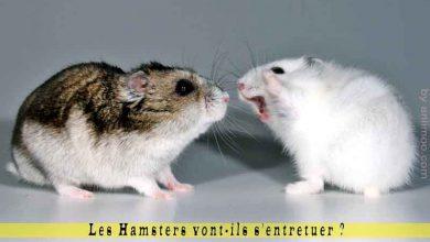 Les-Hamsters-vont-ils-s'entretuer-00