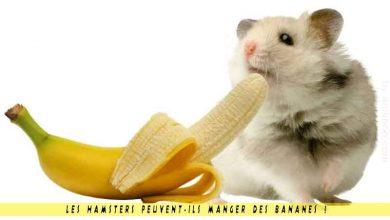 Les-hamsters-peuvent-ils-manger-des-bananes--00