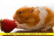Les-hamsters-peuvent-ils-manger-des-fraises-00-