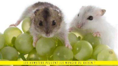 Les-hamsters-peuvent-ils-manger-du-raisin
