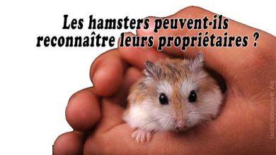 Les-hamsters-peuvent-ils-reconnaître-leurs-propriétaires-00
