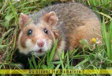 Où-vivent-les-Hamsters-00