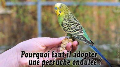Pourquoi-faut-il-adopter-une-perruche-ondulée-00