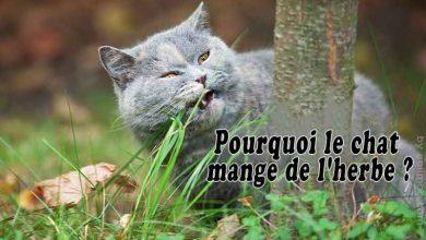 Pourquoi-le-chat-mange-de-l'herbe-00-