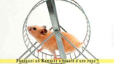 Pourquoi-un-Hamster-a-besoin-d'une-roue-00