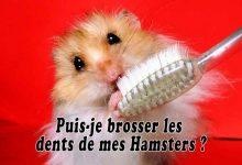 Puis-je-brosser-les-dents-de-mes-Hamsters-00