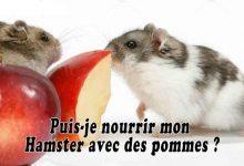Puis-je-nourrir-mon-Hamster-avec-des-pommes-00