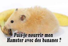 Puis-je-nourrir-mon-hamster-avec-des-bananes-00