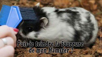 Puis-je-teindre-la-fourrure-de-mon-Hamster-00