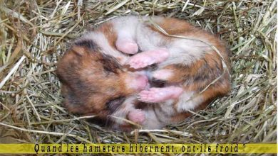 Quand-les-hamsters-hibernent,-ont-ils-froid-00