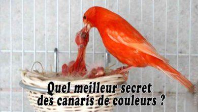 Quel-meilleur-secret-des-canaris-de-couleurs-00