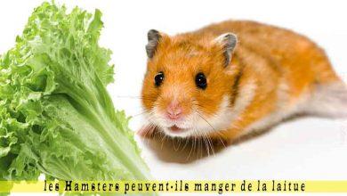 les-Hamsters-peuvent-ils-manger-de-la-laitue-00