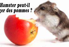 Mon-Hamster-peut-il-manger-des-pommes-RS