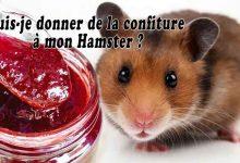 Puis-je-donner-de-la-confiture-à-mon-Hamster-00