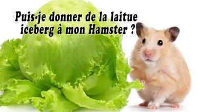 Puis-je-donner-de-la-laitue-iceberg-à-mon-Hamster-00