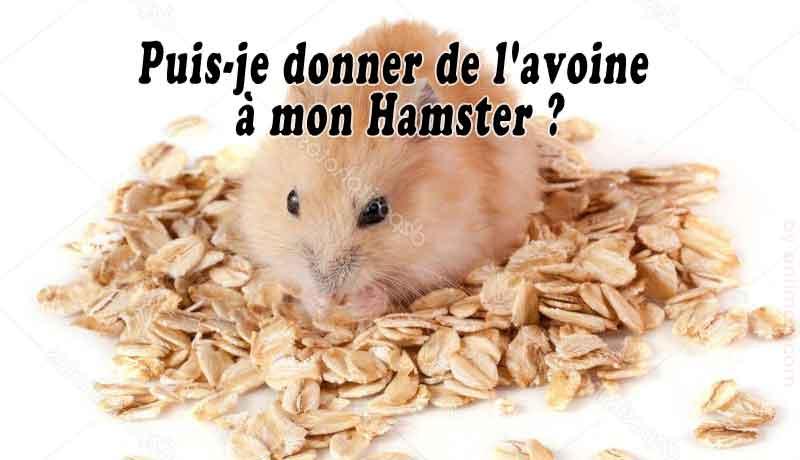 Puis-je-donner-de-l'avoine-à-mon-Hamster-00