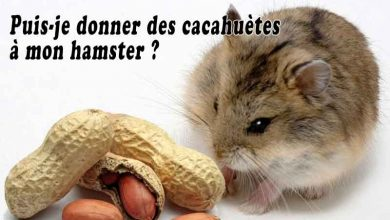 Puis-je-donner-des-cacahuètes-à-mon-hamster-00