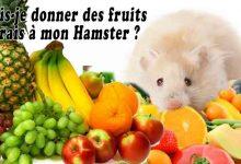 Puis-je-donner-des-fruits-frais-à-mon-Hamster-00