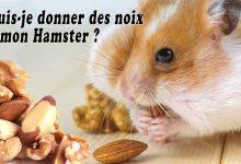 Puis-je-donner-des-noix-à-mon-Hamster-00