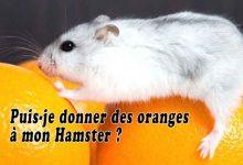Puis-je-donner-des-oranges-à-mon-Hamster-00