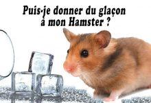 Puis-je-donner-du-glaçon-à-mon-Hamster-00