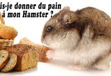 Puis-je-donner-du-pain-à-mon-Hamster-00-
