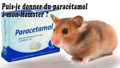 Puis-je-donner-du-paracétamol-à-mon-Hamster-00