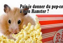 Puis-je-donner-du-pop-corn-à-mon-hamster-00