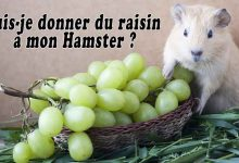 Puis-je-donner-du-raisin-à-mon-Hamster-00