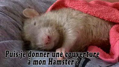 Puis-je-donner-une-couverture-à-mon-Hamster-00
