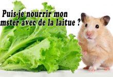 Puis-je-nourrir-mon-Hamster-avec-de-la-laitue00