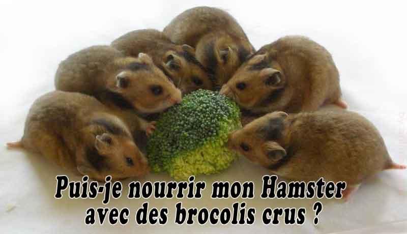 Puis-je-nourrir-mon-Hamster-avec-des-brocolis-crus-00