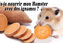 Puis-je-nourrir-mon-Hamster-avec-des-ignames-00