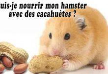 Puis-je-nourrir-mon-hamster-avec-des-cacahuètes-00
