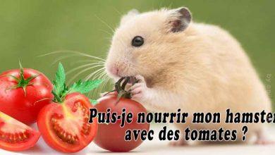 Puis-je-nourrir-mon-hamster-avec-des-tomates-FB