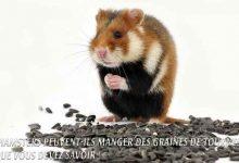 Les Hamsters peuvent-ils manger des graines de Tournesol